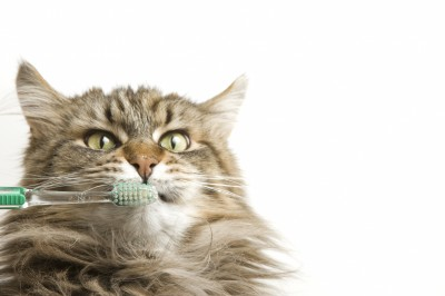 Angry cat with a toothbrush close to its mouth