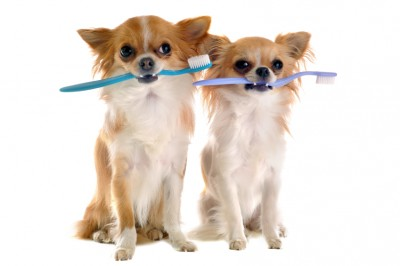 Two dogs with toothbrushes in their mouths