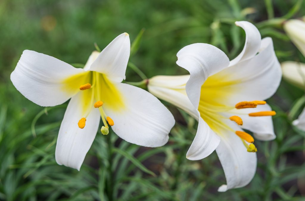 Close up of two white lilies