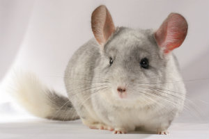 chinchilla facts