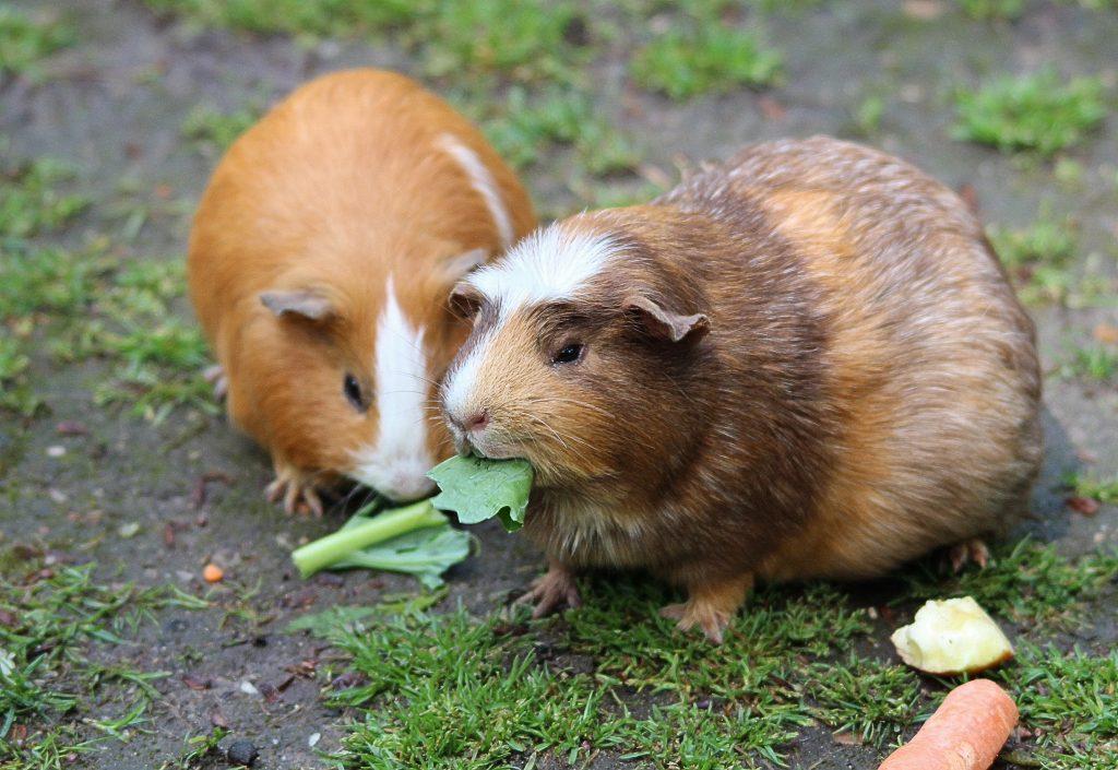 guinea pig eatting