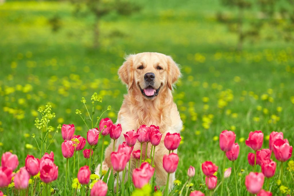 dog with tulips