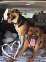 Two dogs in a car with their tongues sticking out