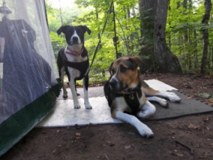 Two dogs at a campsite