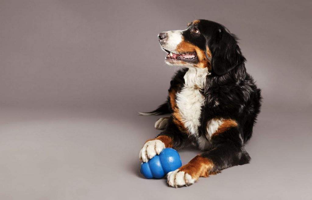 A happy dog with a blue kong toy
