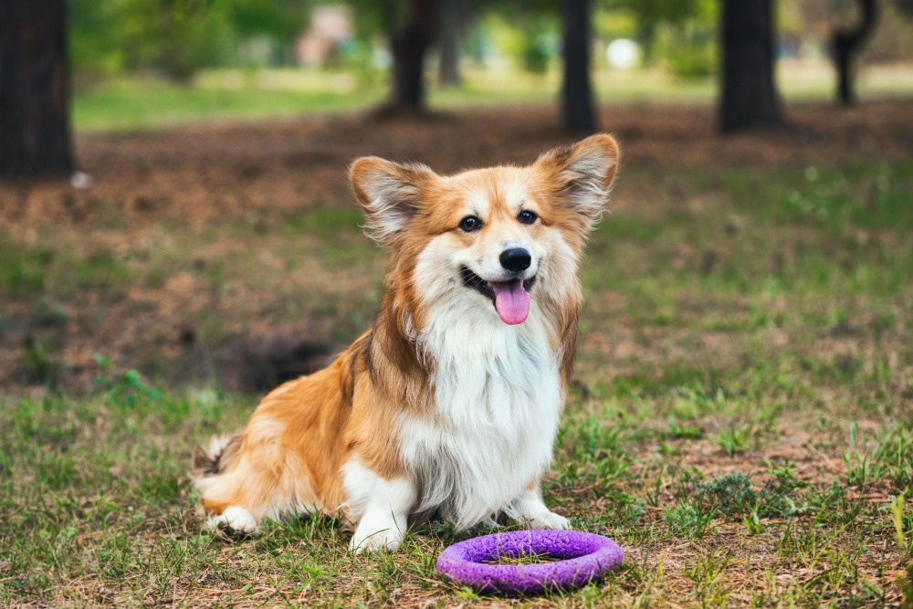 A corgi sitting on grass in front of a purple ring and sticking its tongue out