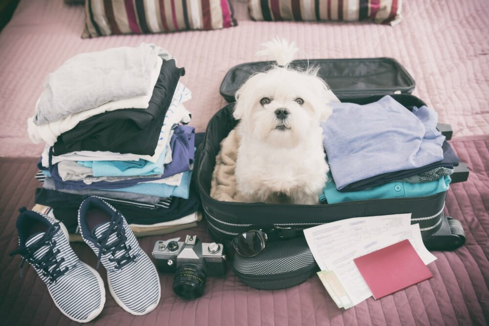 A white dog sitting in a suitcase with packed clothes