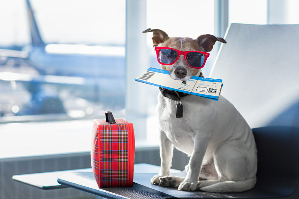 A dog wearing sunglasses and holding a ticket in its mouth at the airport