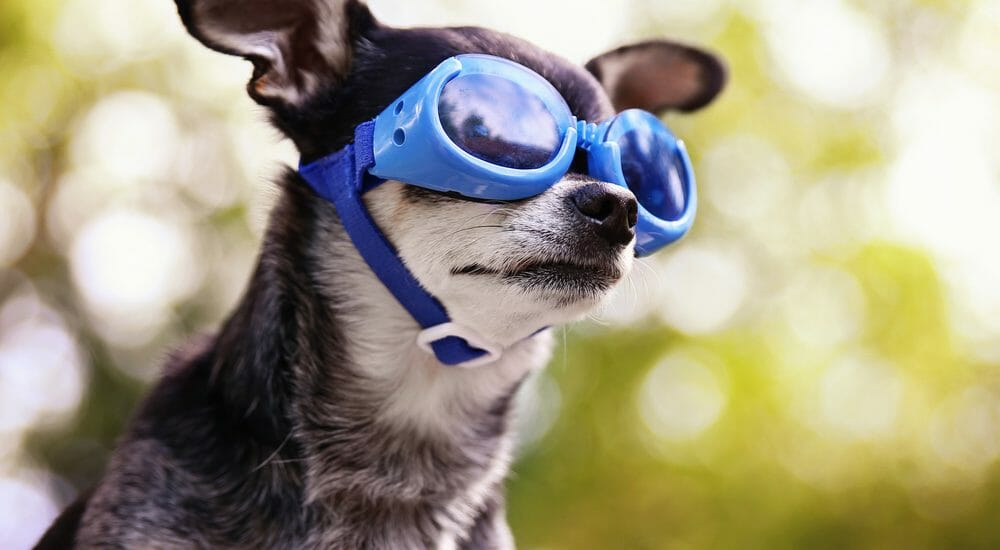 Small dog wearing blue eye googles