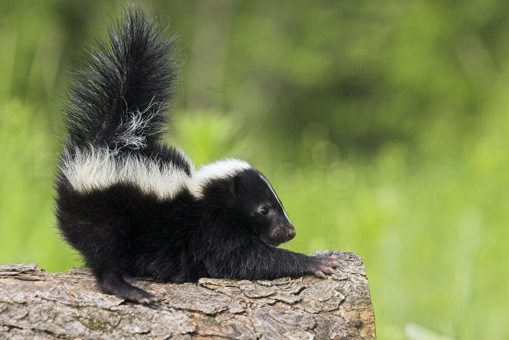 Small skunk stretching on top of a log